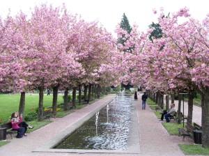 Kirschblüte Hanami