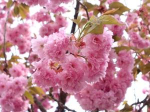 Zierkirsche Blüte, Kirschblüte, Hanami