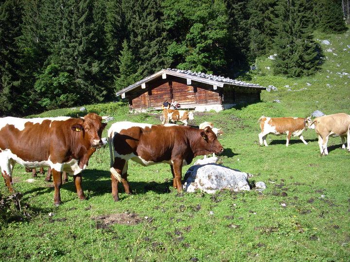 Kühe auf der Mittereisalm