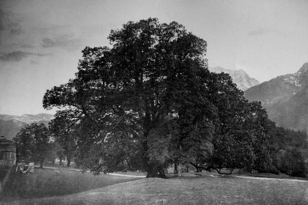Hindenburglinde um 1900 ©Friedrich Stützer