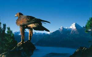 Stein Adler im Nationalpark Berchtesgaden