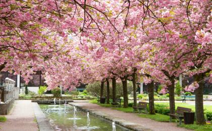 Kirschblüten bis knapp über den Boden im Kurgarten Berchtesgaden