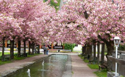 Kirschblüten Pergola Blütendach