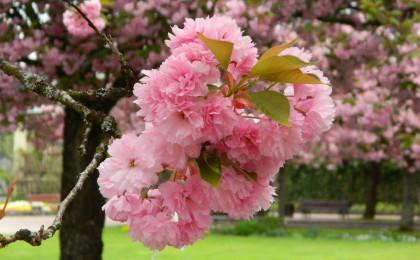 Kirsch-Blüte im Detail