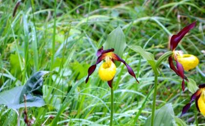 Frauenschuh - Orchidee im Nationalpark Berchtesgaden