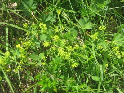 Frauenmantel Alpenblume im Nationalpark Berchtesaden