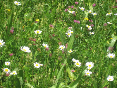Margeriten Alpenblumen im Nationalpark Berchtesgaden