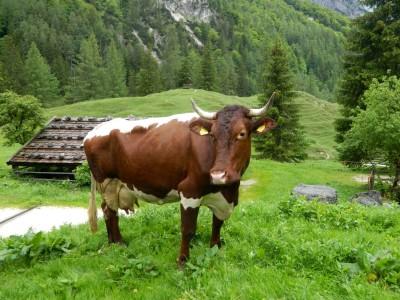 Kuh auf der Bindalm