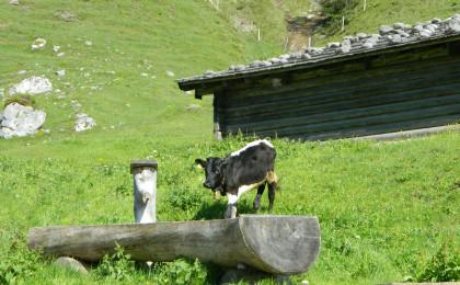 Schwarzes Pinzgauer Kalb auf der Bindalm
