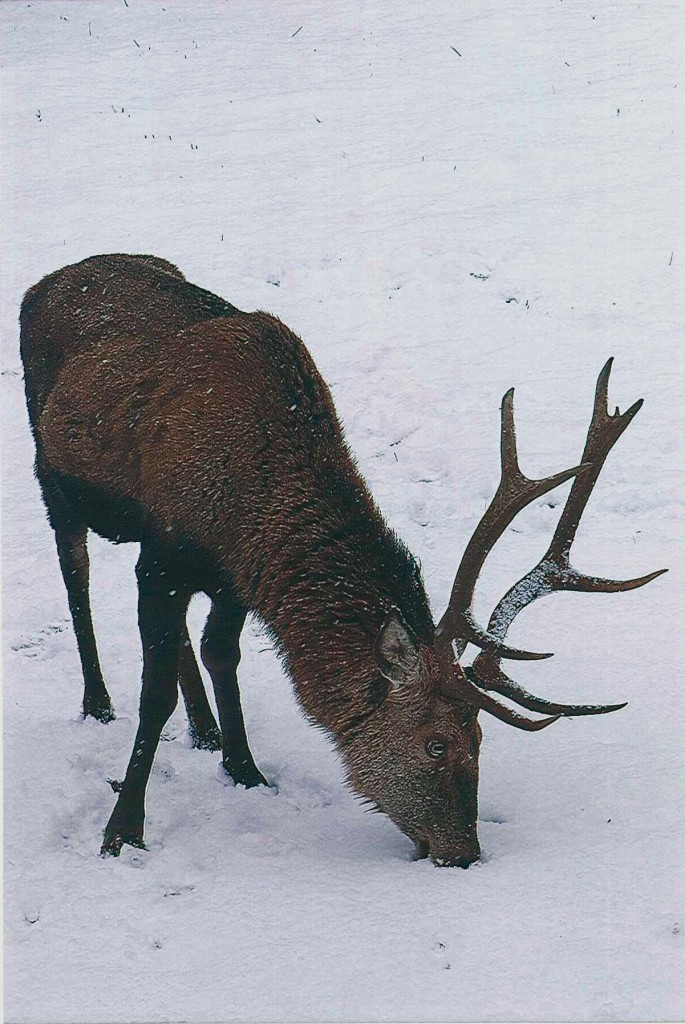 Alter Hirsch im Nationalpark Berchtesgaden