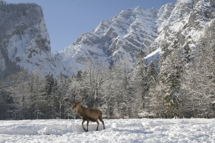 Hirsch im Nationalpark Berchtesgaden