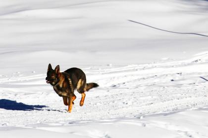 Lawinenhund im Einsatz ©BRK BGL