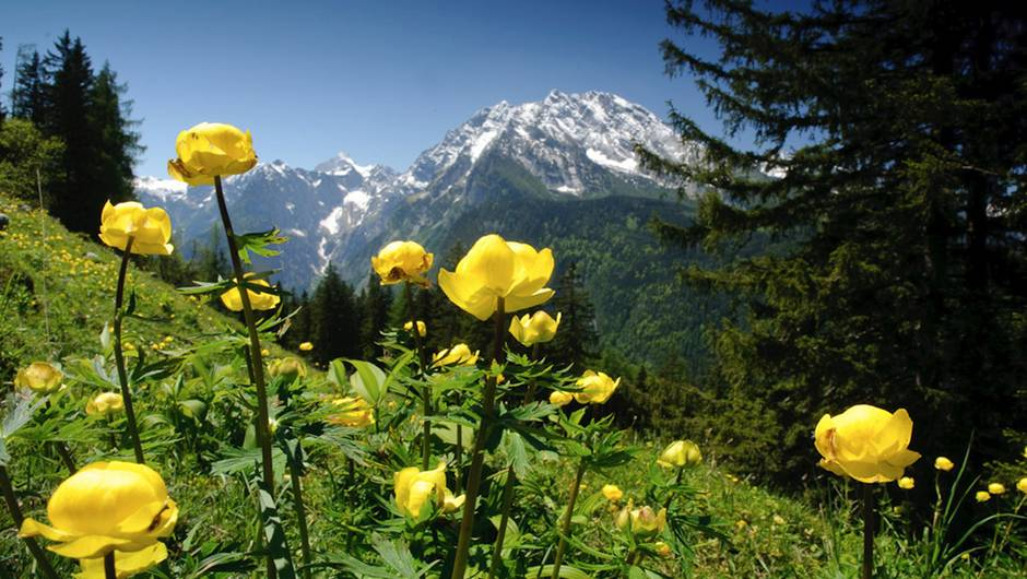 Trollblumenwiese im Nationalpark Berchtesgaden © Nautilusfilm/Julius Kramer