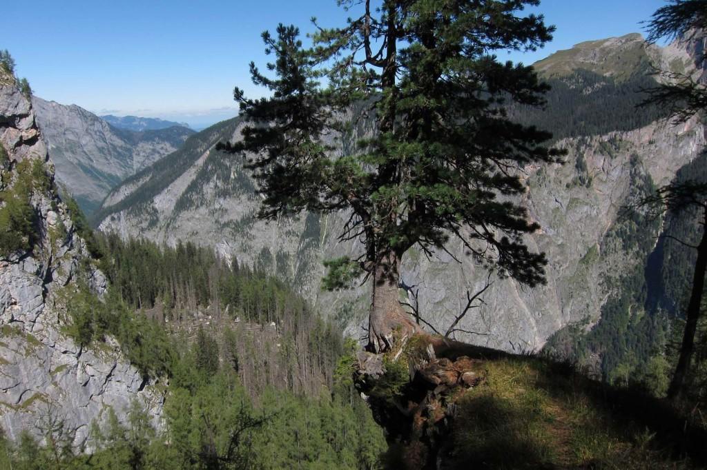 Diese Zirbe klammert sich hoch über den Königssee an einen kleinen Felsvorsprun