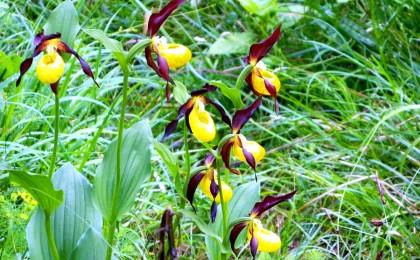 Gelber Frauenschuh - heimische Orchidee