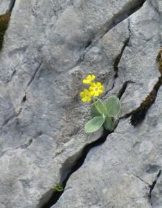 Alpenaurikel in Felsspalte