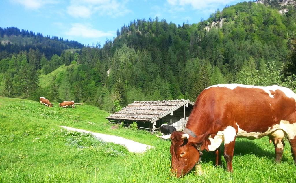 Pinzgauer Kuh auf der Bindalm