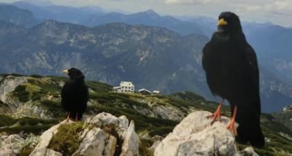 Blick zum Störhaus mit Alpendohlen
