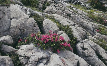 Almrausch ©Nationalpark Berchtesgaden