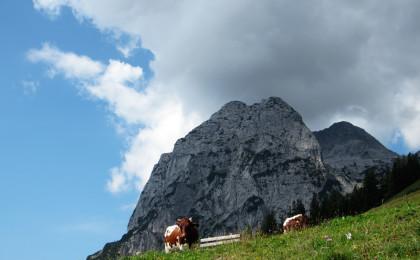 Kühe auf der Halsalm