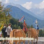 das Vieh mit Treibern auf dem Weg zum Heimathof Obersulzberglehen