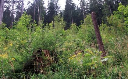Waldverjüngung im Nationalpark Berchtesgaden