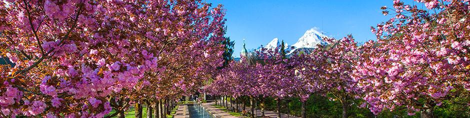 kirschblüte-kurgarten-berchtesgaden