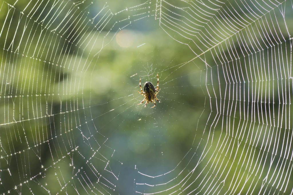 Spinne in ihrem Netz auf dem Weg zum Funtensee