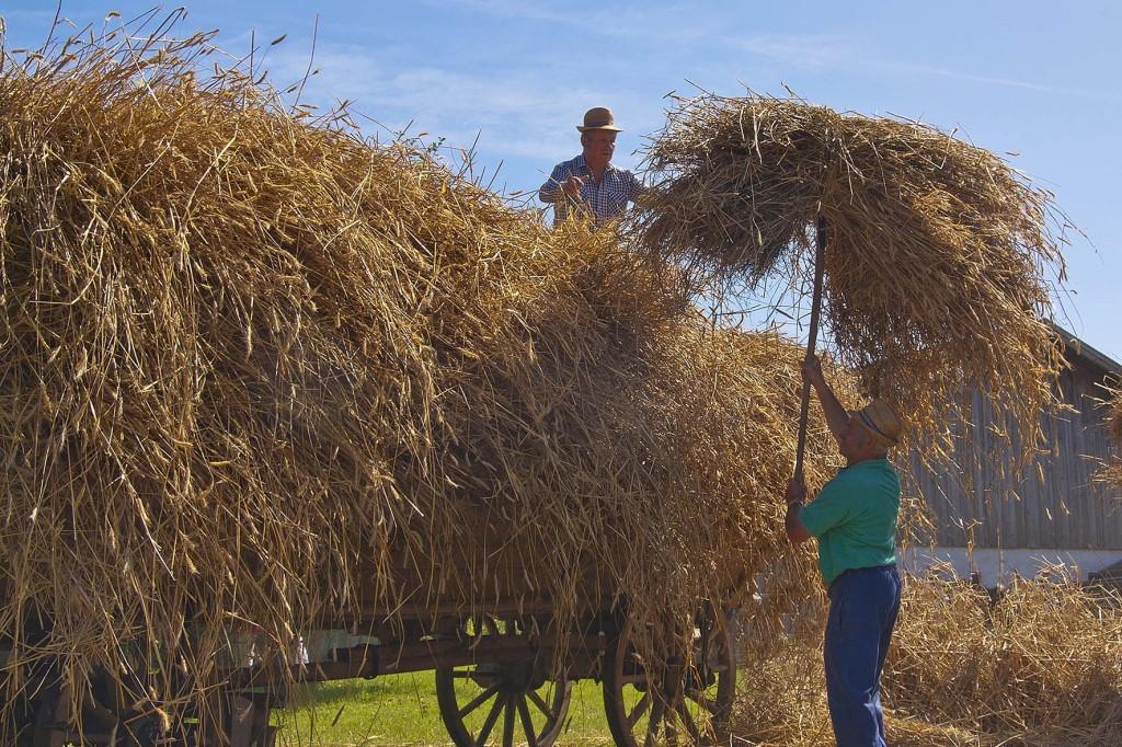 im Bauernhofmuseum Hof - das ausgedrosche Getreide wird als Stroh auf dem Wagen geladen - zum traditionellen Dampfdreschen - Kirchanschoering