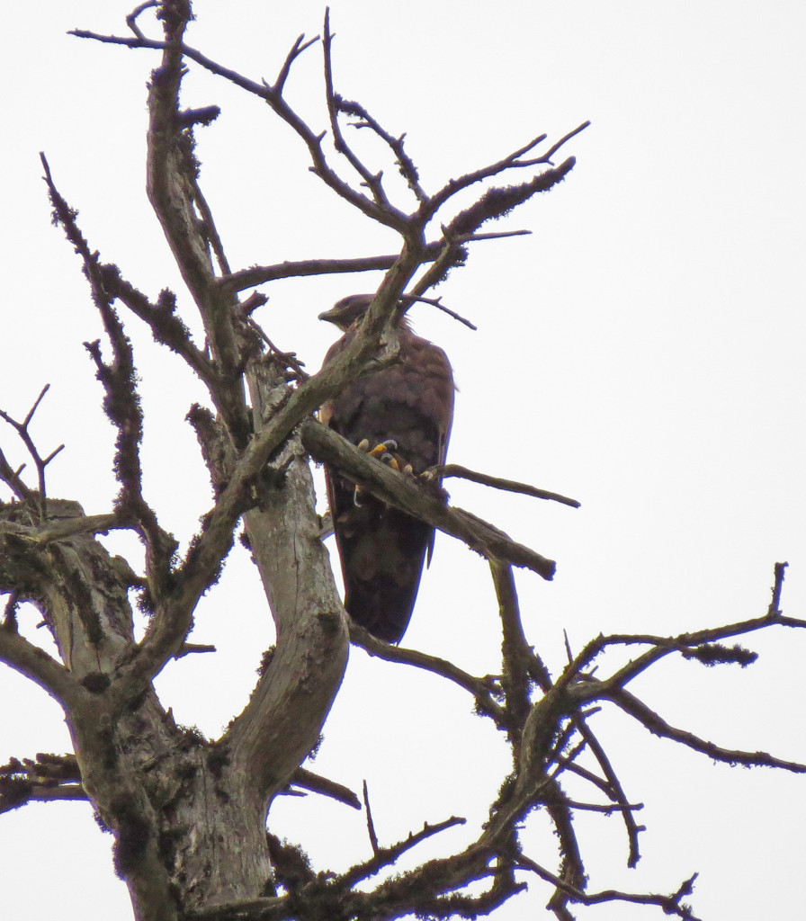 Adler Baum