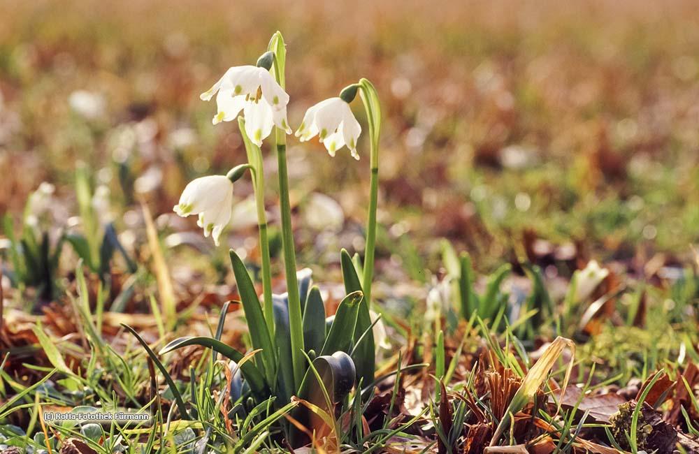 Schneeglöckchen oder auch Frühlingsknotenblume genannt, Rupertiwinkel, Berchtesgadener Land, Oberbayern