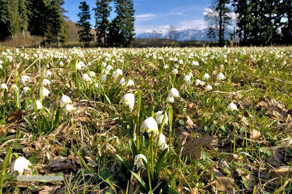 Schneeglöckchen oder auch Frühlingsknotenblume genannt (Leucojum vernum), Rupertiwinkel, Berchtesgadener Land, Oberbayern