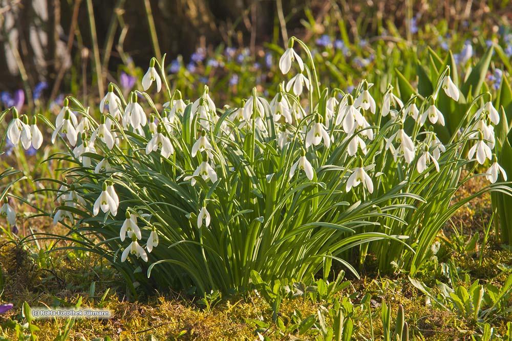 Schneeglöckchen im Frühling (Galanthus