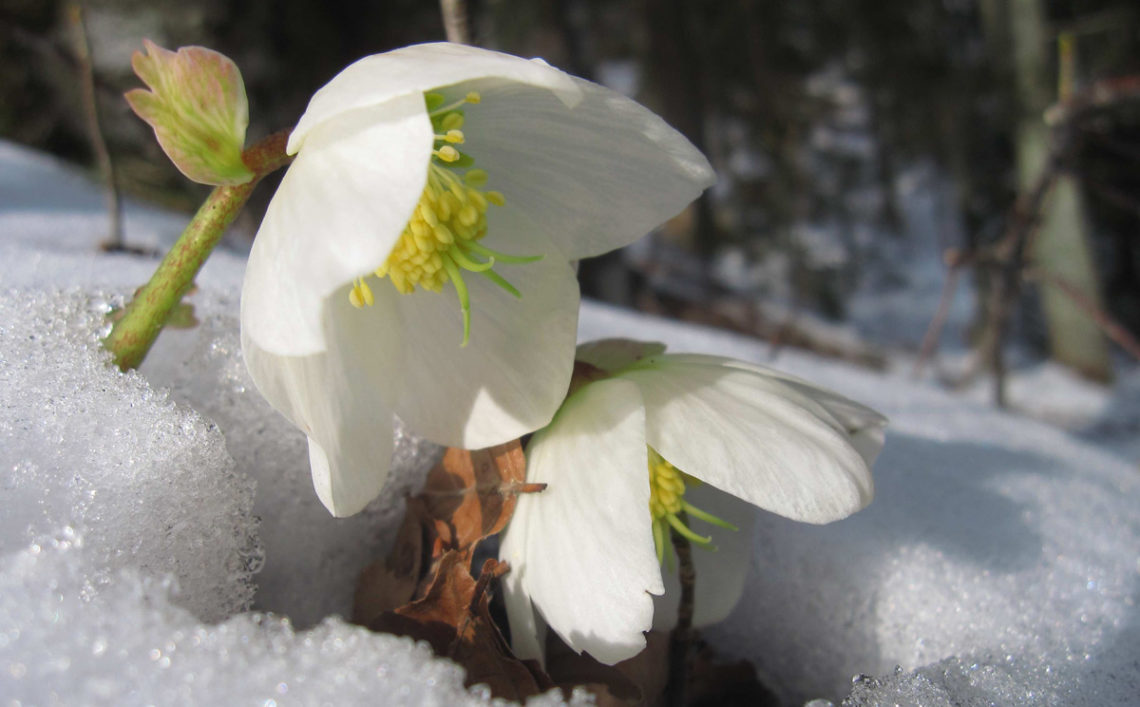 Die Schneerose: Frühlingsbote