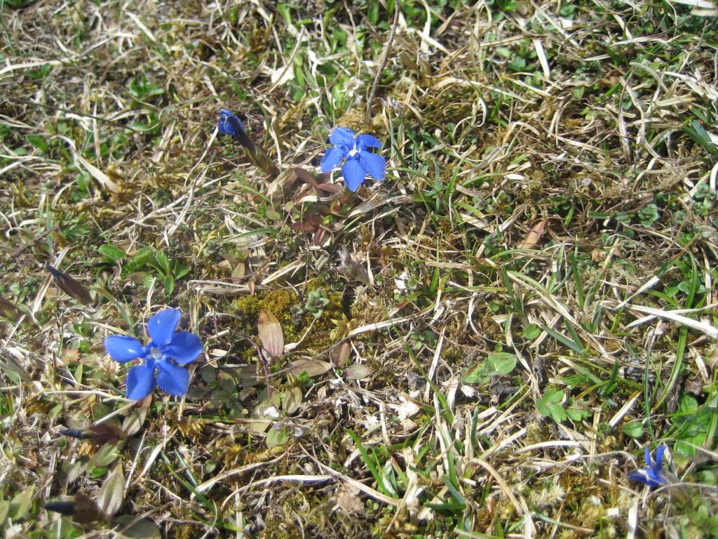 Schusternagein sind mit den Leberblümchen einer der ersten Blumen nach dem Winter