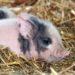 Nachwuchs Schwarzes Alpenschwein © Berghotel Rehlegg