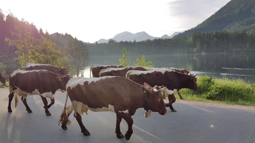 Die Kühe am Hintersee