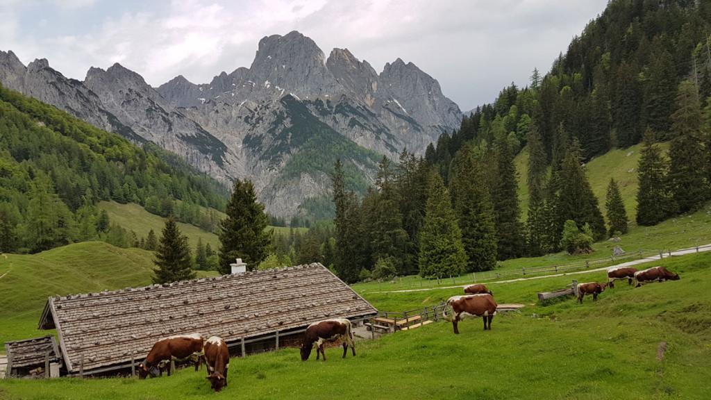 Kühe auf der Bindalm
