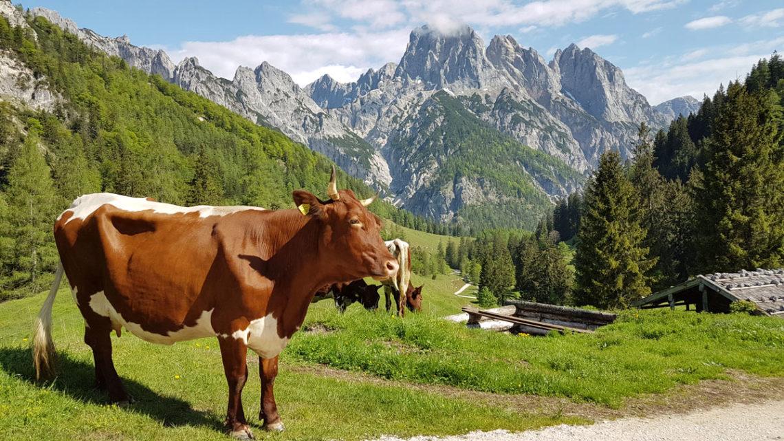 Bilderbuchwetter: Kuhe und Sonne strahlen