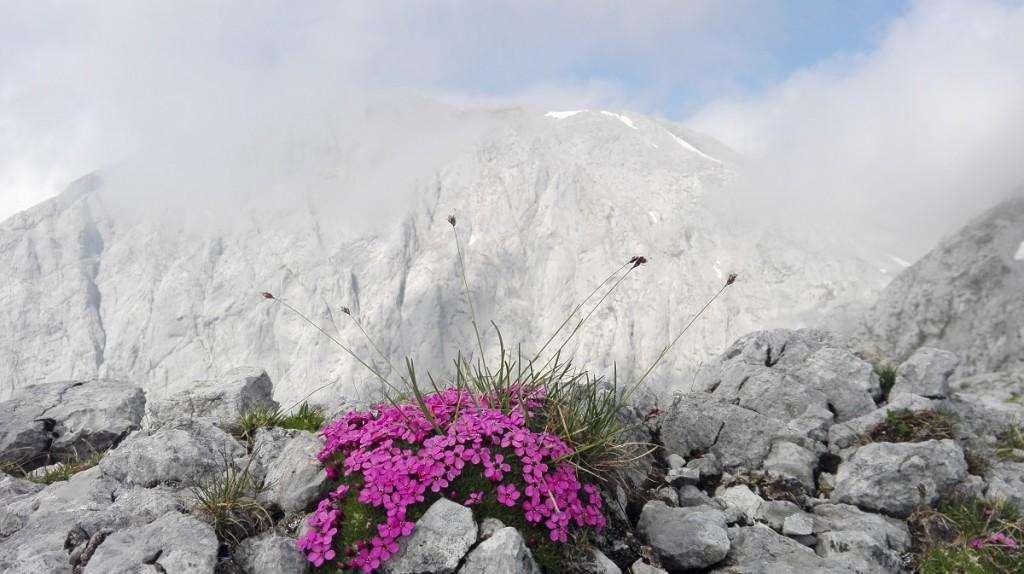 Überlebenskünstler vor dem Hohen Göll der den beiden bestimmenden Elementen der Tour - Karst und Wolken- trotzt