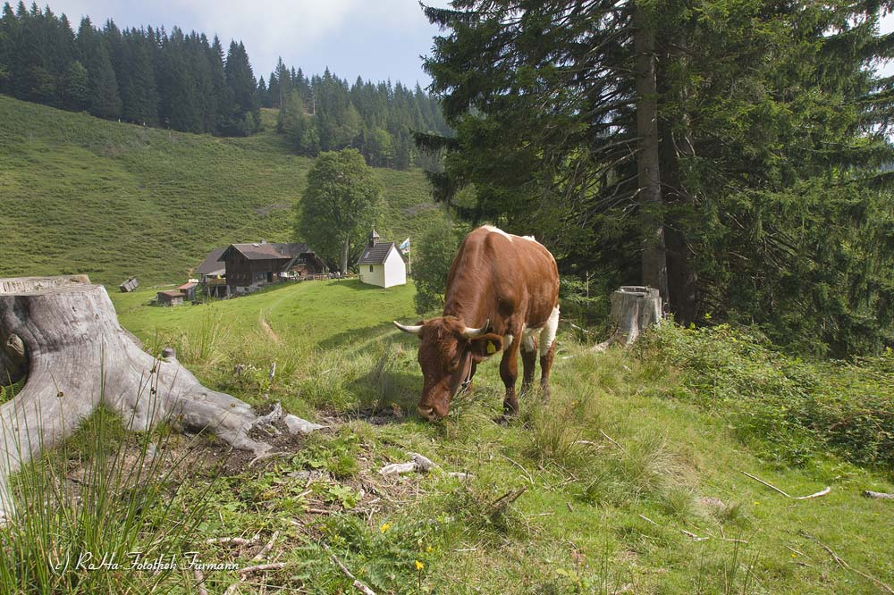 auf der Steiner Alm mit dem Zwiesel im Hintergrund - Gemeinde Piding, Berchtesgadener Land, Rupertiwinkel, Oberbayern, Deutschland