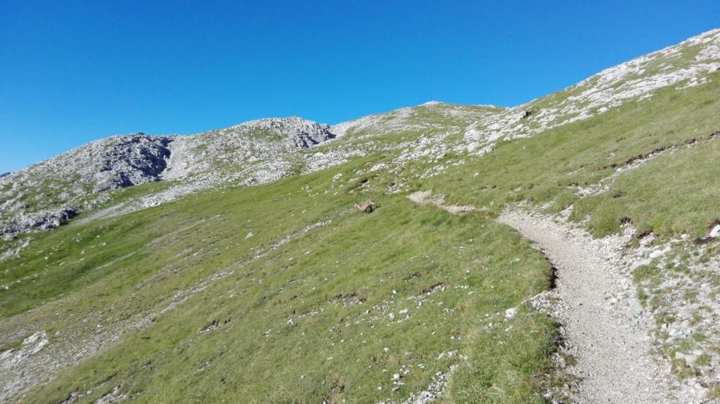 Ein zweihörniger Geselle quert den Weg zum Schneibstein.