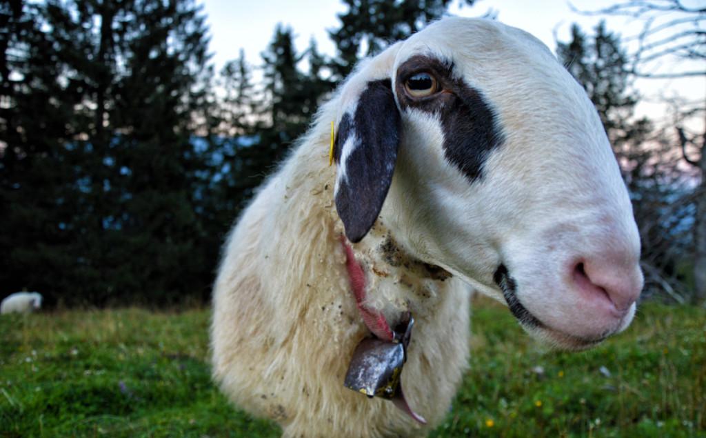 Ein Schaf auf dem Toten Mann