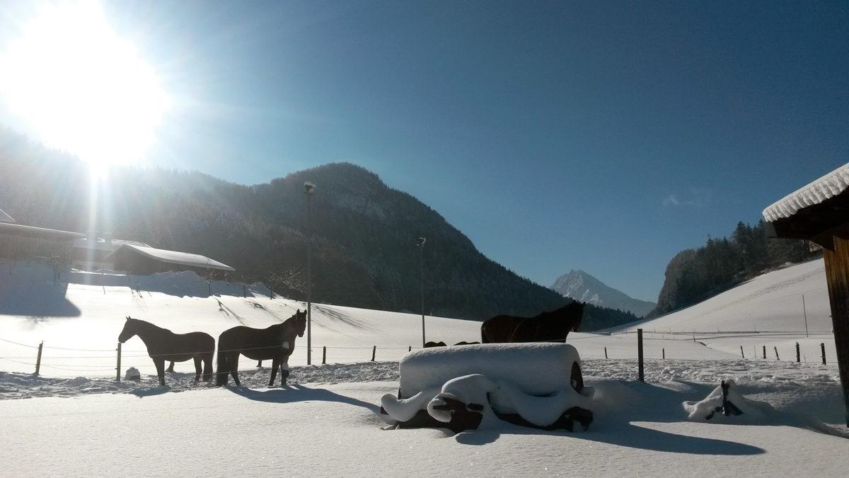 Kaltblut-Pferde in der Scheffau genießen den WInter