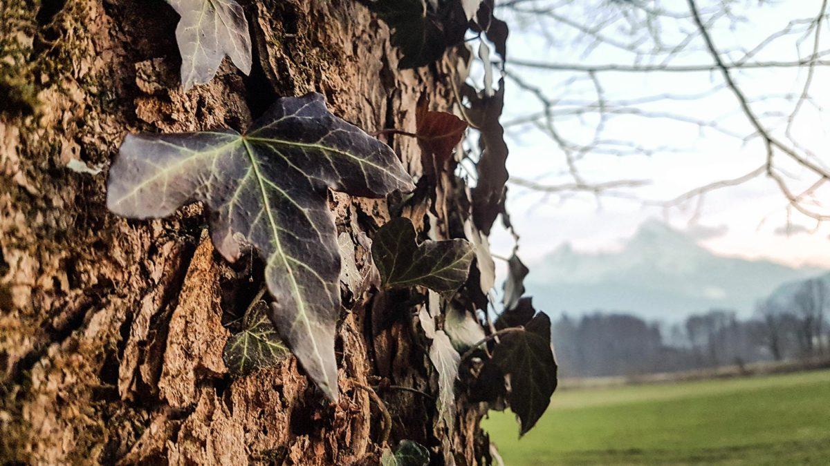 Efeu rankt an uralten Bäumen