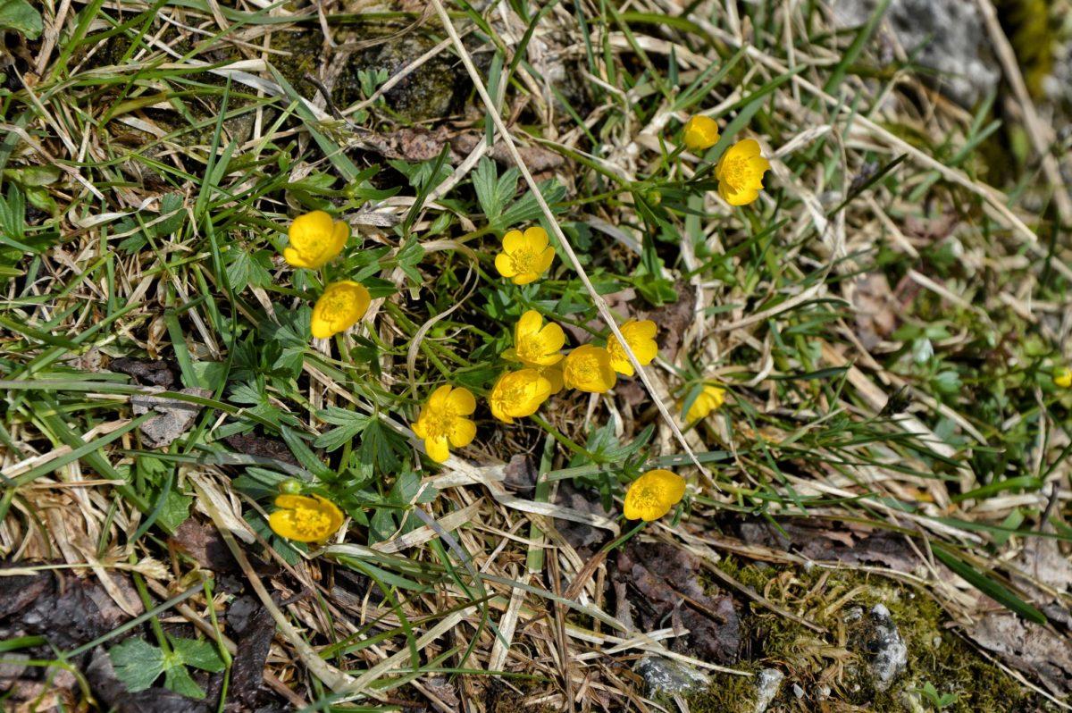 Frühlingsblumen im Wimbachgries