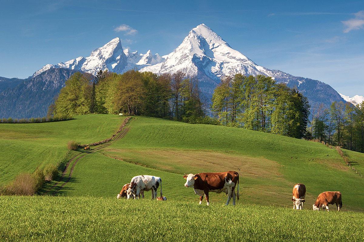 Kühe auf der Weide vor dem Watzmann