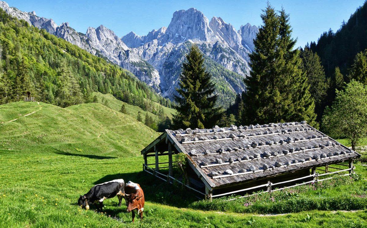 Pinzgauer Kühe auf der Bindalm