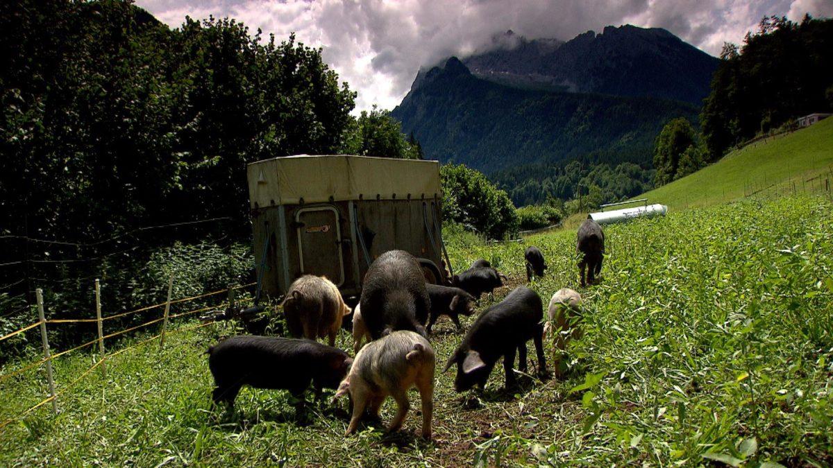 Die Alpenschweine beim Kederbacher auf der Weide © BR
