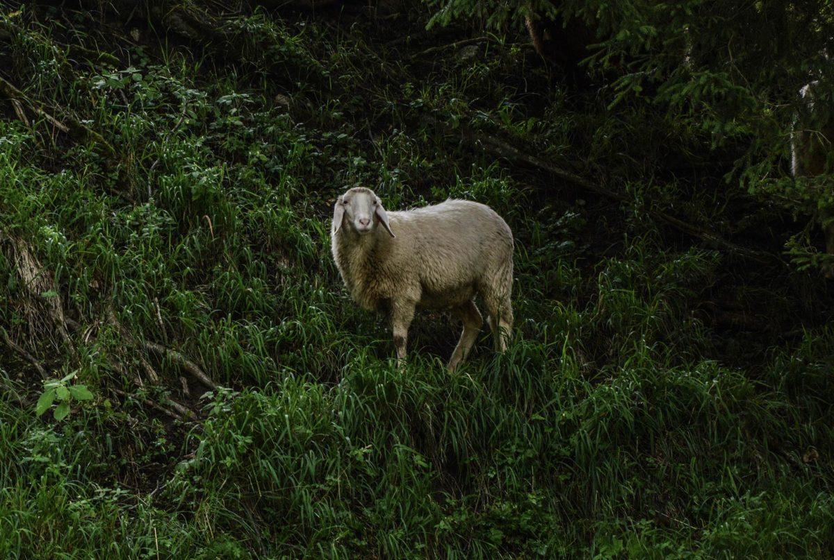 Unter den strengen Augen dieses Schafs fahren wir in den Berg hinein...